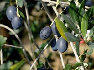 Ripe olives on olive tree branch